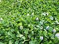 06339jfBarangay Eichhornia Flowers Pansinao Candaba Mount Arayat Pampanga Riverfvf 22.JPG