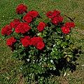 06 Rosen aus Serbien (DSCF1558).jpg