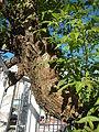 0732jfRoad Olongapo Pampanga Mexico Pampanga Santo Cristo Lagundi Vitex negundofvf 19.JPG