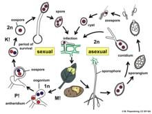 Oomycete - Wikipedia Oomycetes Life Cycle