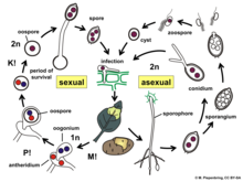 Oomycetes asexual reproduction images