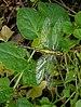 14 05 2015 Gomphus vulgatissimus - Common Clubtail - Gemeine Keiljungfer 04.jpg