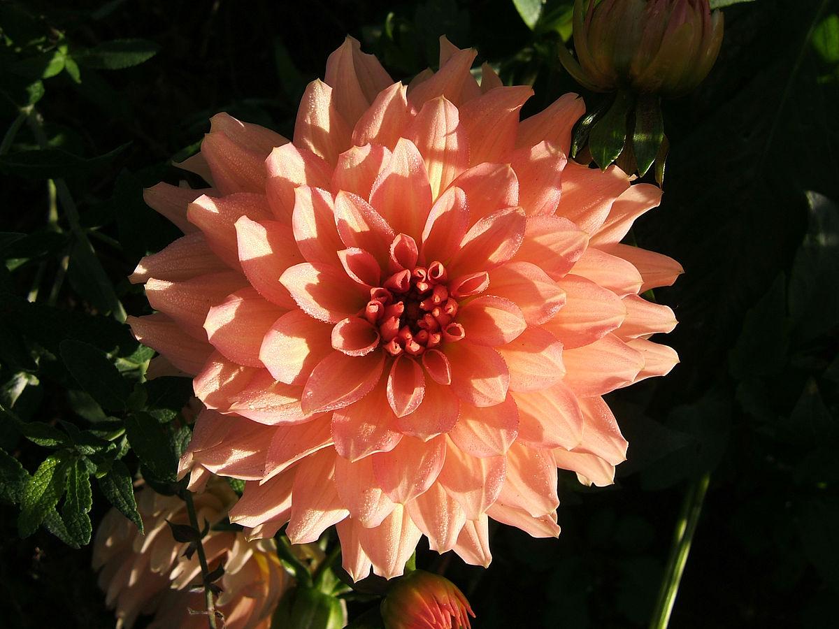 Language of flowers  Wikipedia