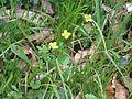 2009-06-17 Flora am Eisenstein (Niederösterreich) 5.jpg