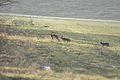 2010-02-18 (7) Feldhase, European hare, Lepus europaeus cutted.JPG