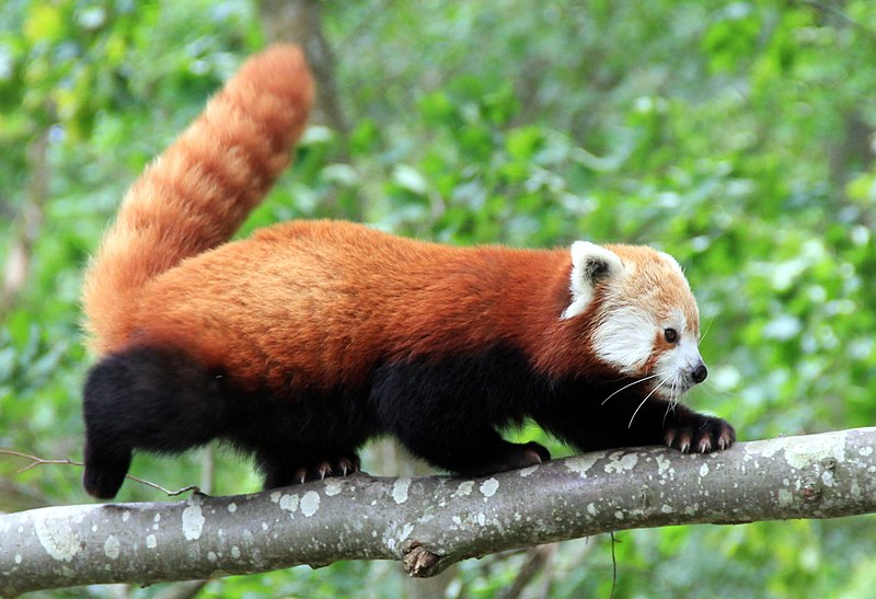 Fichier:2011-07-14 Rød panda i tre.jpg