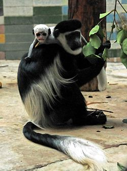 2011 Colobus guereza cropped2.jpg