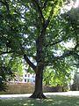 20120827Eiche Saarbruecken2.jpg