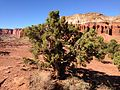 2013-09-23 15 56 56 Juniperus osteosperma near Panorama Point in Capitol Reef National Park.JPG
