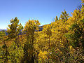 2014-10-04 14 12 33 View of Aspens during autumn leaf coloration from Charleston-Jarbidge Road (Elko County Route 748) in Copper Basin about 11.5 miles north of Charleston, Nevada.JPG