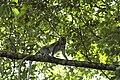 2014 Borneo Luyten-De-Hauwere-Crab eating Macaque-03.jpg