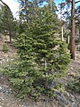 2015-04-30 15 53 07 Fir saplings along the Trail Canyon Trail in the Mount Charleston Wilderness, Nevada about 2.0 miles north of the trailhead.jpg
