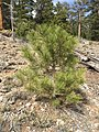 2015-04-30 16 00 10 Ponderosa Pine sapling along the Trail Canyon Trail in the Mount Charleston Wilderness, Nevada about 1.8 miles north of the trailhead.jpg