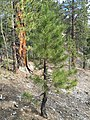 2015-04-30 16 09 41 Ponderosa Pine sapling along the Trail Canyon Trail in the Mount Charleston Wilderness, Nevada about 1.6 miles north of the trailhead.jpg