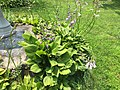 2015-07-05 13 50 05 Hostas in flower along Terrace Boulevard in Ewing, New Jersey.jpg