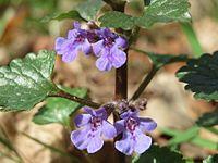 20150412Glechoma hederacea1.jpg