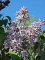 20150423Syringa vulgaris4.jpg