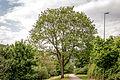 20150522 Geschützer Baum - Baumbestand am Moselradweg Trier - IMG 4473 by sebaso.jpg