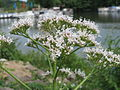 20150617Valeriana officinalis4.jpg