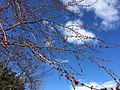 2016-03-02 13 44 17 Male Red Maple blossoms along Lees Corner Road (Virginia State Secondary Route 645) in Chantilly, Virginia.jpg