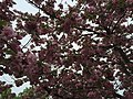 2016-04-22 13 02 57 'Kanzan' Japanese Cherry flowers along Dairy Lou Drive at White Barn Lane in the Franklin Farm section of Oak Hill, Fairfax County, Virginia.jpg