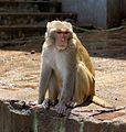 20160802 - Rhesus macaque - Mount Popa, Myanmar - 7178.jpg