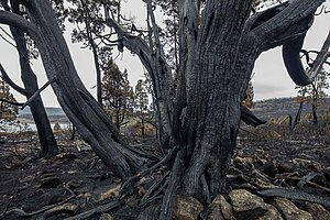 2016 Tasmanian bushfires - Burnt thousand year old pencil pine, Mackenzie fire, Tasmania.
