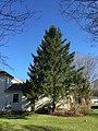 2017-03-23 17 07 14 Norway Spruce along Hidden Meadow Court in the Franklin Farm section of Oak Hill, Fairfax County, Virginia.jpg