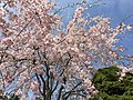 2017-04-05 13 33 02 Weeping Higan Cherry flowers along Folkstone Drive at Rock Manor Court in Oak Hill, Fairfax County, Virginia.jpg