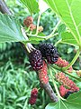 2017-05-30 15 21 41 Red Mulberry fruit at the intersection of Lees Corner Road (Virginia State Secondary Route 645) and Old Dairy Road in the Franklin Farm section of Oak Hill, Fairfax County, Virginia.jpg