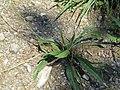 2017-07-28 (046) Plantago lanceolata (ribwort plantain) at Haltgraben in Frankenfels.jpg