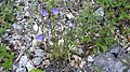 2017-08-01 (20) Campanula persicifolia (peachleaf bellflower) at Haltgraben in Frankenfels.jpg
