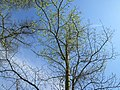 20180412Ulmus minor2.jpg