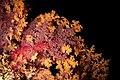 2018 fiji, 16 april, alacrity, purple and orange soft coral (41148241954).jpg