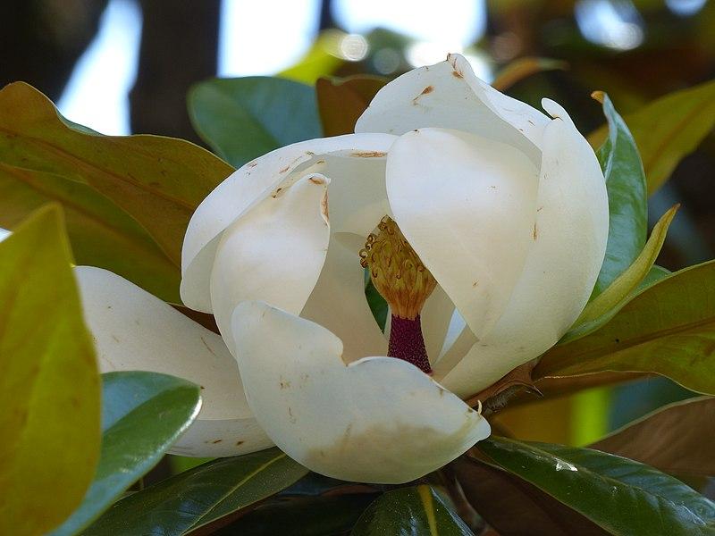 File 22 La Casamaures Fleur De Magnolia Grandiflora Jpg Wikimedia