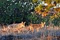 2 Coyotes + Pup (5967543661).jpg