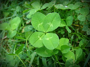 Trifolium repens - Four leaf Trifolium repens, in its natural setting. Three-leaf shamrocks can be seen