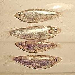 4 specimens of Clupeonella cultriventris.jpg