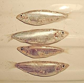 <i>Clupeonella</i> genus of fishes