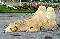 50 Jahre Knie's Kinderzoo - Camelus bactrianus (Trampeltier) 2012-10-03 15-21-00.JPG