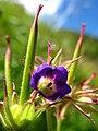 5710 - Schynige Platte - Flower.JPG