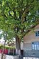 61-212-5038 Zhyznomyr Oak RB 18.jpg