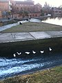 6 geese a'hanging out by the sluice gate - geograph.org.uk - 2254090.jpg