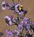 769 19-Cyanostegia angustifolia-2.jpg