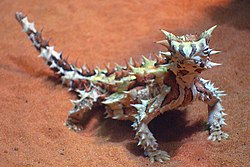 A232, Alice Springs Desert Park, Alice Springs, Australia, thorny devil, 2007.JPG