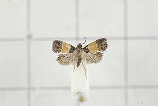 <i>Epinotia bicolor</i> Species of moth