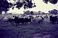 ASC Leiden - Rietveld Collection - Nigeria 1970 - 1973 - 01 - 080 Fulani people and zebus walk from northern Nigeria to Lagos. A herd of brown and white horned cattle in a landscape - Province of Bauchi.jpg