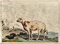 A broad tailed sheep from South Africa. Coloured aquatint by Wellcome V0021694.jpg