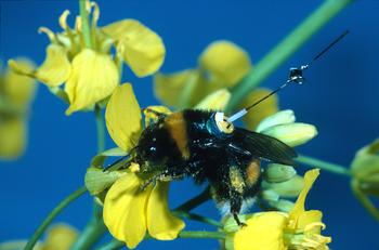 A bumblebee (Bombus terrestris) worker with a transponder attached to its back, visiting an oilseed rape flower.png