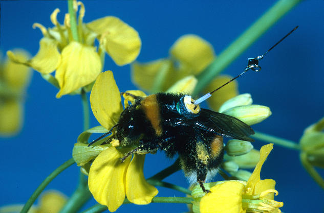 A bumblebee (Bombus terrestris) worker with a transponder attached to its back, visiting an oilseed rape flower